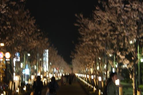 Sakura season in Kamakura